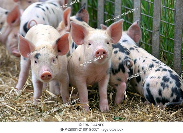 Gloucester Oldspot Piglets looking from sty, rare breed