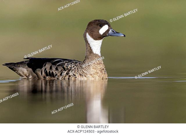 Spectacled Duck (Speculanas specularis) swimming in a small lake in Chile