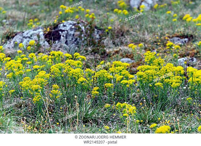 Cypress spurge, Euphorbia cyparissias