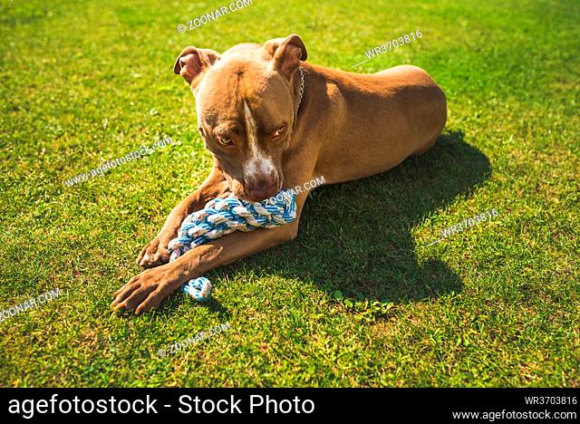 themeDog American staffordshire terrier, amstaff. Bites rope toy on green grass. Dog background