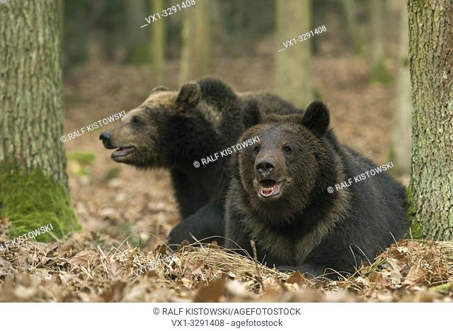 Brown Bears / Braunbaeren ( Ursus arctos ), two siblings, young, adolescent, lying, playing together in an autumnal broadleaf forest, Europe