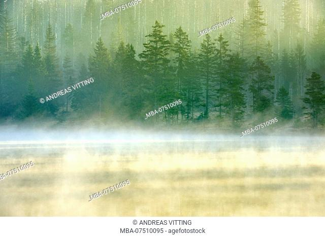 Sunrise at the Oder pond with morning mist, natural forest, partly by infestation of bark beetle dead spruce, Harz National Park, Lower Saxony, Germany