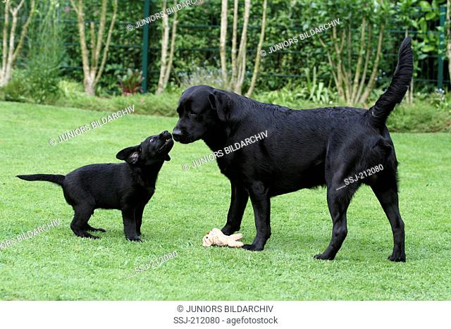 Labrador Retriever. Puppy (9 weeks old) playing with its father on a lawn in a garden. Germany