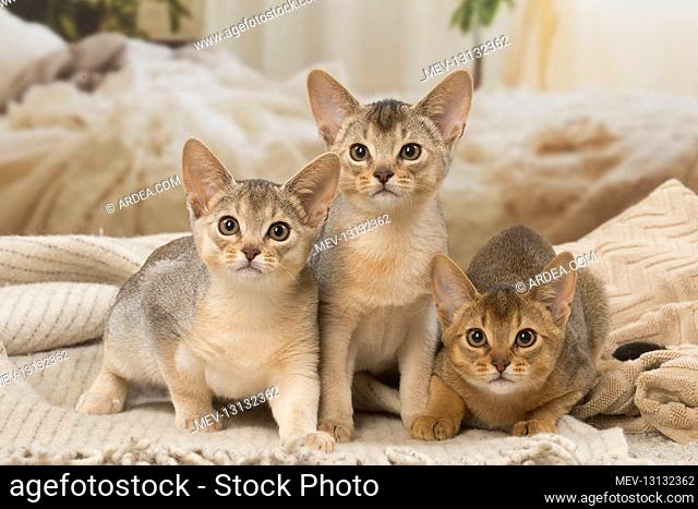 Abyssinian kittens indoors