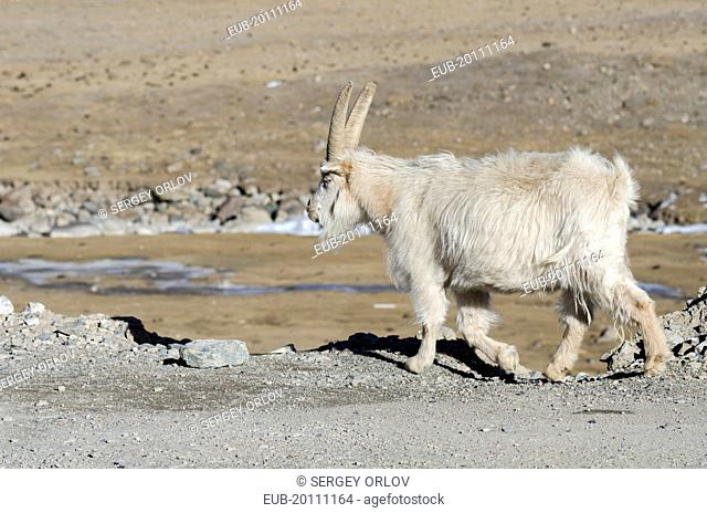 Old Tibetan goat is wandering on a mountain slope