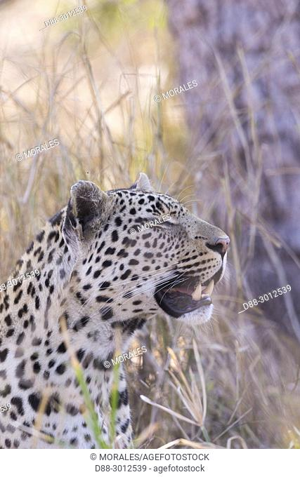 Africa, Southern Africa, South African Republic, Mala Mala game reserve, savannah, African Leopard (Panthera pardus pardus), resting on the ground