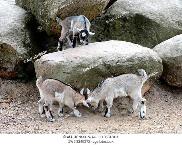 Fighting young domestic goats in Markaryd, Småland, Sweden