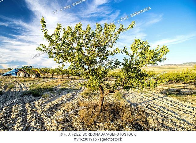 Almond tree harverst in Monegros, Aragón, Spain