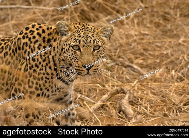 Leopard, Panthera pardus, Kruger National Park, South Africa