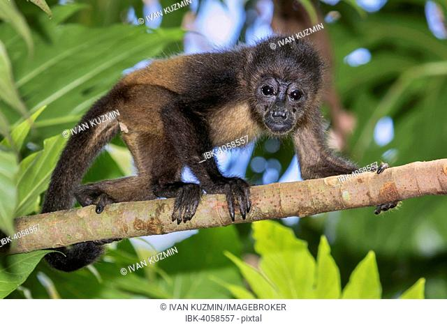 Montled Howler monkey (Alouatta palliata), young climbing tree branch in rainforest canopy, Cahuita National Park, Costa Rica