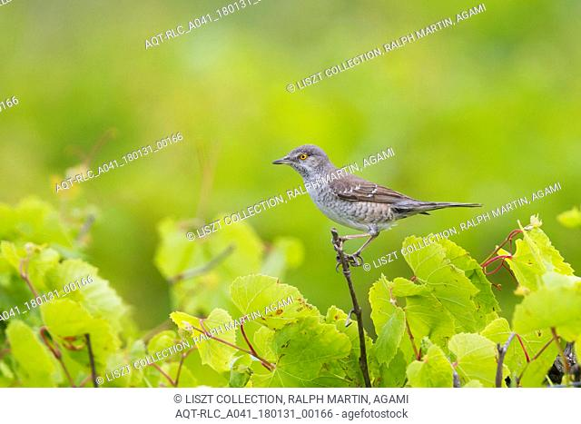 Barred Warbler, Sylvia nisoria