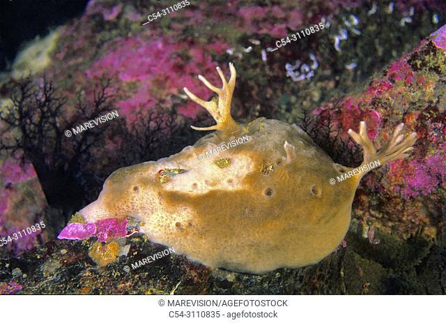Sponge (Esperiopsis fucorum). Eastern Atlantic. Galicia. Spain. Europe