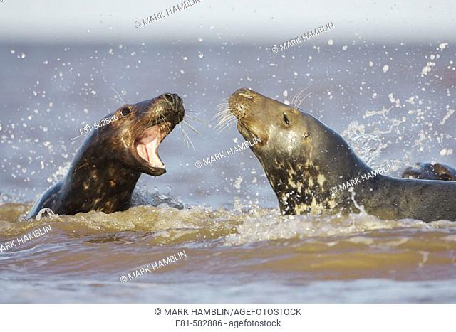 Grey Seal (Halichoerus grypus) female calling aggressively towards male (bull) in sea. North Lincolnshire, UK. November 2005
