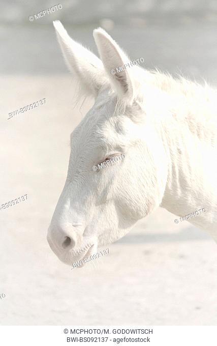 domestic donkey (Equus asinus f. asinus), portrait of an albino
