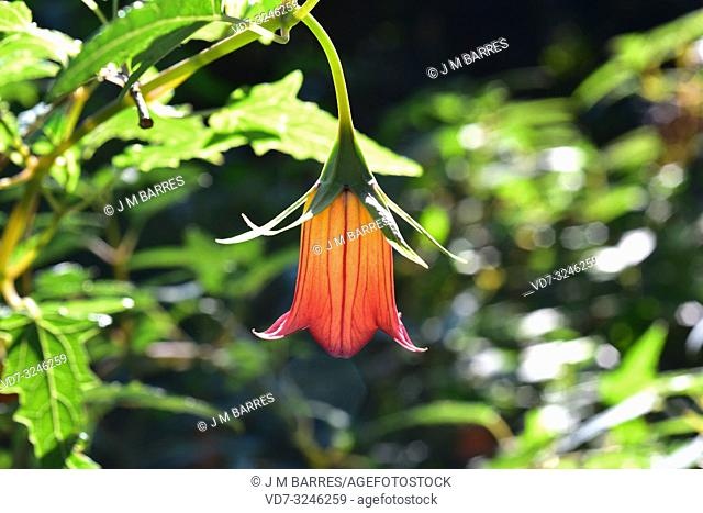 Bicacaro or Canary bellflower (Canarina canariensis) is a perennial herb endemic to Canary Islands except Fuerteventura and Lanzarote. Flower detail