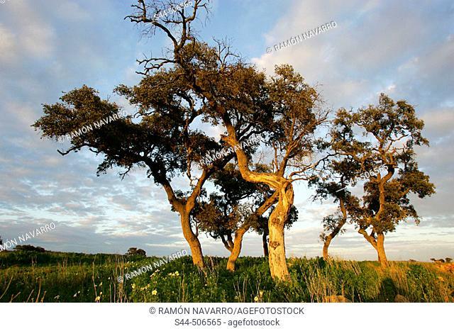 Holm Oaks (Quercus rotundifolia). Sevilla, Andalusia , Spain