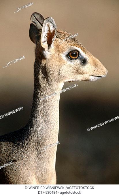 Dik-Dik (Madoqua kirkii). Samburu National Reserve
