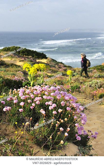 Armeria pungens blossom. Bordeira, Algarve. Sudoeste Alentejano and Costa Vicentina Nature Park, the wildest atlantic coast in Europe. Portugal