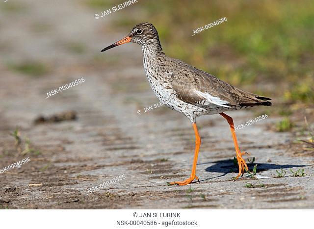 Common Redshank (Tringa totanus) crossing a road, The Netherlands, Gelderland, polder Arkemheen