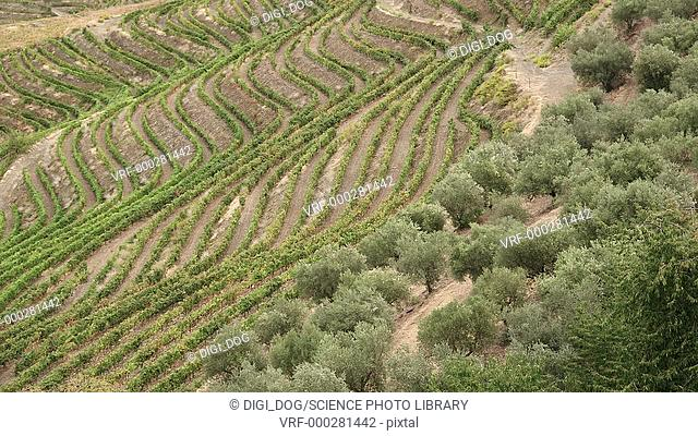 High angle footage of vineyards, Douro, Portugal