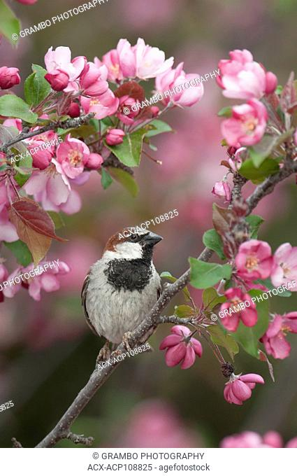 Male House Sparrow, Passer domesticus, in flowering crababpple tree, Warman, SK, Canada