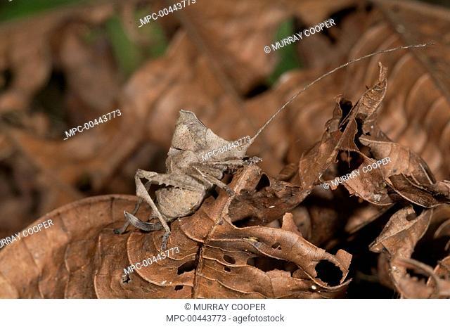 Katydid (Tettigoniidae) juvenile mimicking dead leaves, Amazon, Ecuador