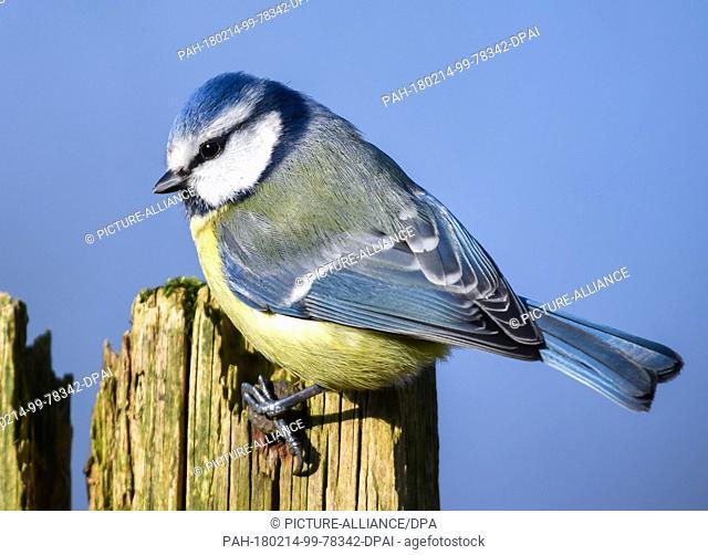 13 February 2018, Germany, Sieversdorf: A blue tit (Cyanistes caeruleus) rests on a wooden fence. - NO WIRE SERVICE - Photo: Patrick Pleul/dpa-Zentralbild/ZB