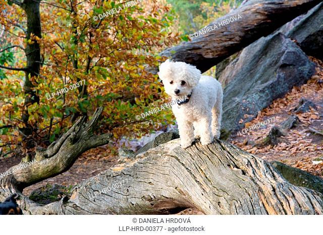 White dog – Bichon Frise, Czech Republic, Europe