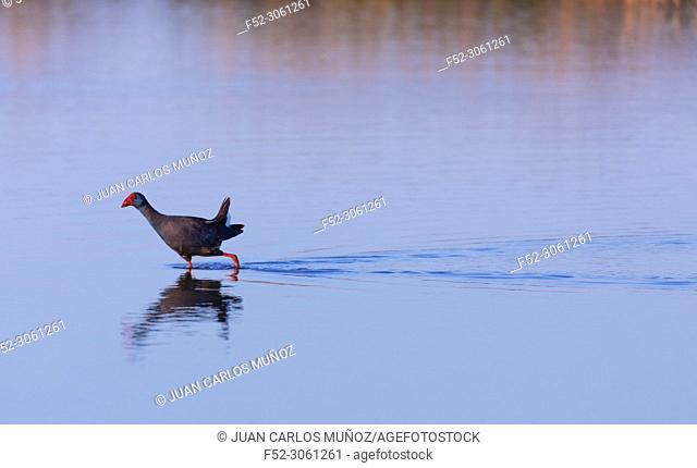Western swamphen (Porphyrio porphyrio), L'Alfacada Lake, The Ebre Delta Natural Park, Terres de l'Ebre, Tarragona, Catalonia, Spain