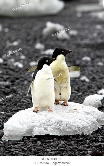 Adelie Penguin, (Pygoscelis adeliae), Antarctica, Half Moon Island, adult couple on ice floe