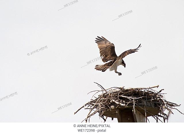 Osprey landing on nest. Next to Bow River in Bowmont Park in Calgary, Alberta, Canada