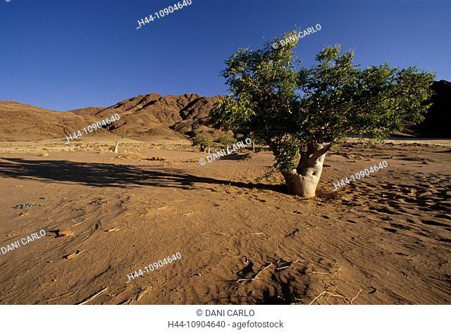Moringa, Tree, Namibrand, Nature Reserve, Sesriem, Namib, Naukluft, Park, Namibia, Africa