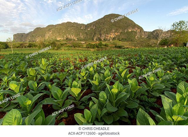 Ripe tobacco plants, Vinales, Cuba