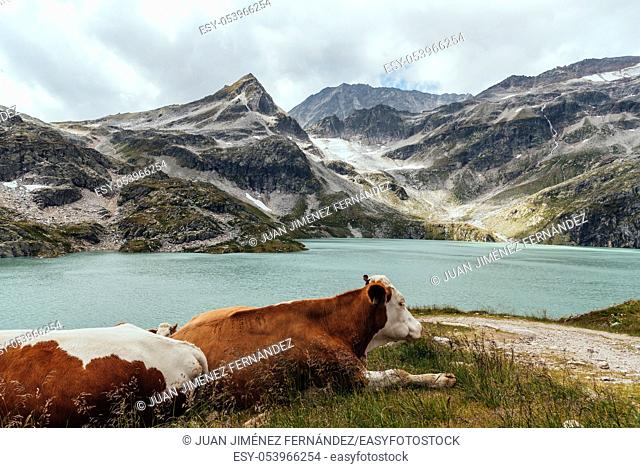 Cow grazing in the mountains in Austrian Alps besides Weisse Lake