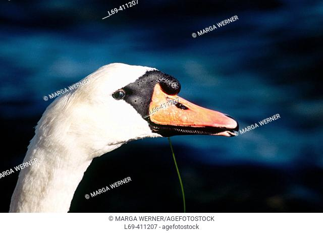 Mute Swan (Cygnus olor). Germany