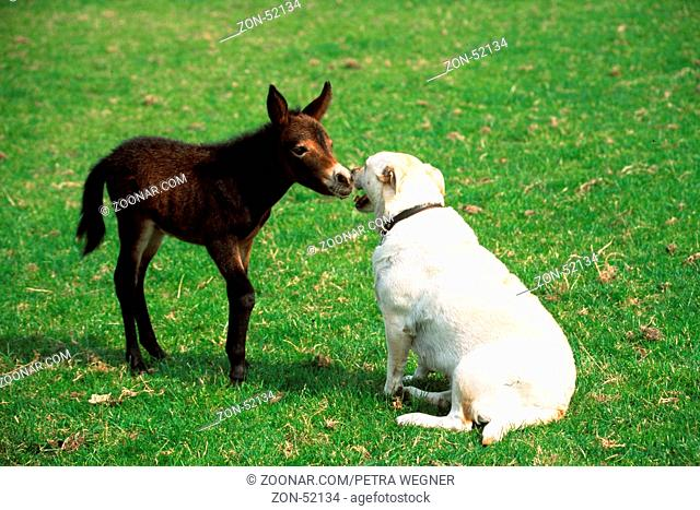 Labrador Retriever and Mule foal  /  Labrador-Retriever und Maultierfohlen  /  [Saeugetiere, mammals, Heimtier, pet, Haustier, Nutztier, farm animal, domestic