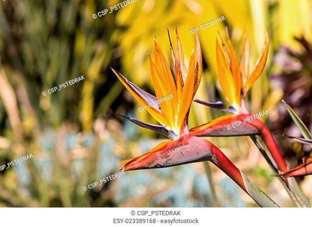 closeup of strelizia flowers
