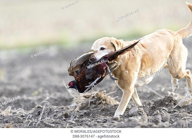 France, Bas Rhin, Labrador with a Common Pheasant (Phasianus colchicus), female