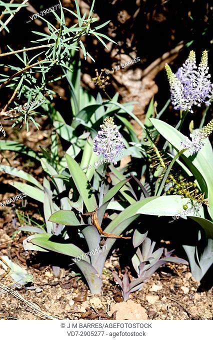 Cebolla almorrana mayor (Scilla latifolia) is a perennial plant endemic of Canary Islands