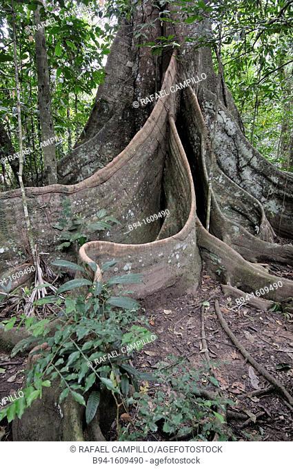 Tree, Madidi National Park in the upper Amazon river basin in Bolivia