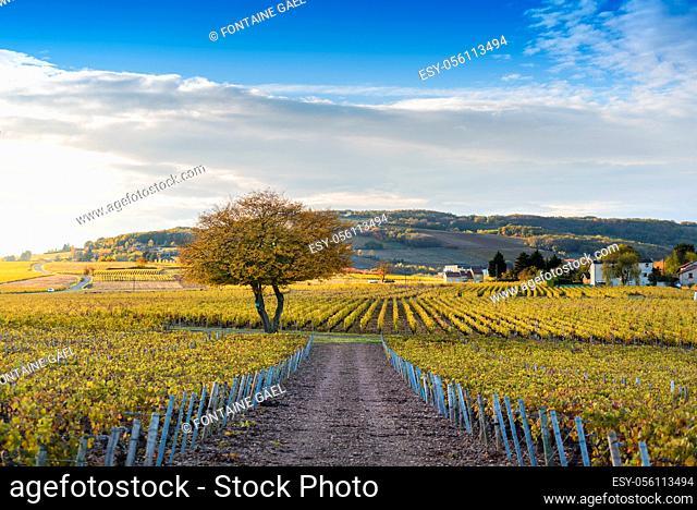 Couleurs d'automne et vignes de Frontenas, Beaujolais, France