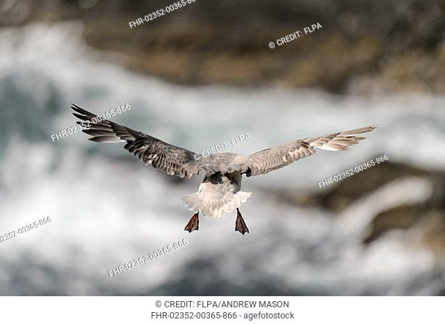 Northern Fulmar (Fulmarus glacialis) adult, in flight over sea cliff, Sumburgh Head RSPB Reserve, Mainland, Shetland Islands, Scotland, July