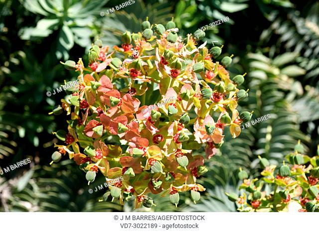 Gopher spurge (Euphorbia rigida) is a shrub native to Mediterranean Basin and Middle East