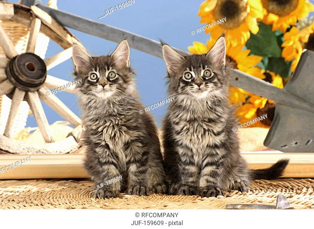 Maine Coon cat - two kittens sitting