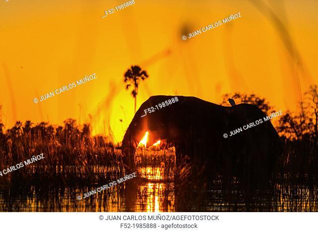 AFRICAN ELEPHANT (Loxodonta ), Okavango Delta, Botswana, Africa
