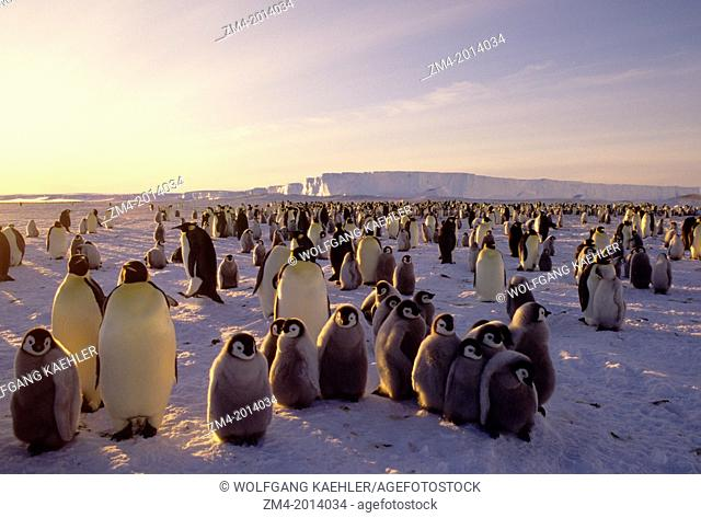 ANTARCTICA, ATKA ICEPORT, EMPEROR PENGUIN COLONY, ICE SHELF IN BACKGROUND, MIDNIGHT SUN