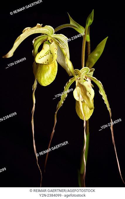 Long petal Phragmipedium Grande Fireworks Lady's Slipper orchid flower hybrid
