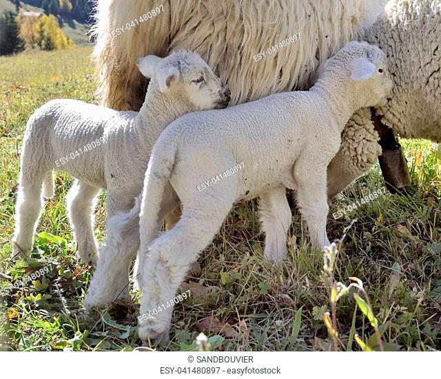 cute lamb against ewe in a meadow