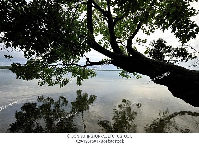 Maple tree overhanging shoreline of Kagawong Lake