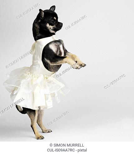 Chihuahua in dress dancing